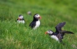 Maskonury Mykines, Faroe wyspy Fotografia Royalty Free