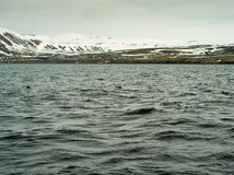Maskonury w Husavik Iceland Obrazy Royalty Free