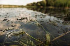 Maskować żaby Zdjęcie Stock
