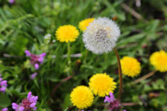 Maskros bland blommor Arkivfoto