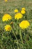 Maskros bland blommor Royaltyfria Bilder