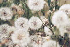 Maskros bland blommor Arkivfoton