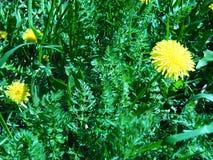 Maskros bland grässkott med ett grönt filter Royaltyfri Fotografi