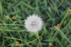 Maskros dött som är vit, gräs, utanför arkivfoton