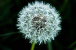 Maskros fluffig blomma, luftblomma, vit blomma Arkivfoton