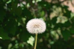 Maskros frö som är klart att blåsa i vinden royaltyfri bild