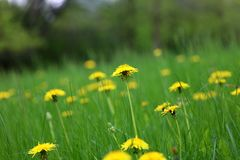 Maskros härligt unikt gult blommaogräs arkivfoto