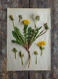 Maskros herbarium Botanisk illustration Arkivfoto