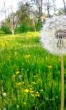 Maskros i gräsbakgrunden Arkivfoto