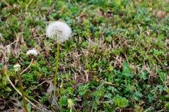 Maskros i gräset Arkivfoton