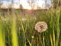 Maskros i grässolnedgång royaltyfria bilder