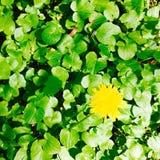 Maskros i grönt fält Arkivbild
