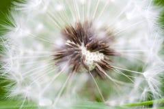 Maskros i morgonsolen, bakgrund, natur, grönt gräs, Royaltyfria Foton