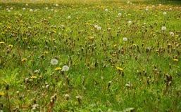 maskros infested lawn Royaltyfria Foton