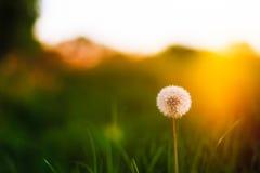 Maskros med solljus bakifrån Arkivfoto