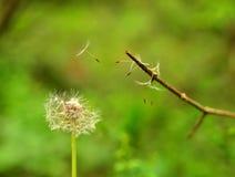Maskros mot en suddig bakgrund av grönt gräs i vår Arkivfoton
