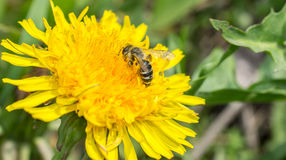 Maskros och biet Fotografering för Bildbyråer