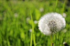 Maskros och gräs Arkivfoton