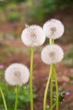 Maskros på bakgrund för grönt gräs Fotografering för Bildbyråer