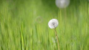 Maskros på en bakgrund av gräs stock video
