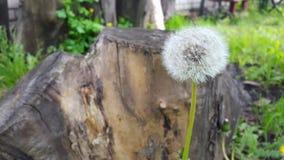 maskros på en bakgrund av trähampa Royaltyfri Foto