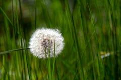 Maskros på gräsbakgrund Arkivfoto