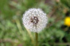 Maskros på grönt gräs- Fotografering för Bildbyråer