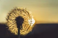 Maskros på solnedgångfotoet close upp royaltyfri foto