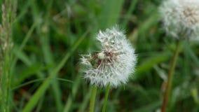 Maskros som blåser gräs 4k stock video