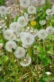 Maskros under blomningvårflovers Arkivfoto