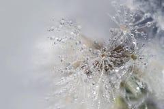 Maskrosbakgrund med vattenbubblor Arkivfoton