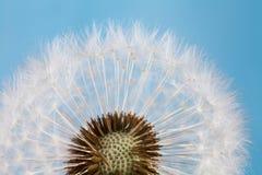 Maskrosblomma mot blå himmel Närbild Skjuten makro Royaltyfria Bilder
