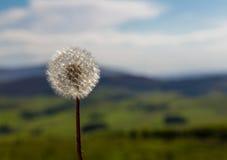 MaskrosBlowball som skiner i sommarsol Arkivfoton