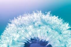 Maskroscloseupen med vatten tappar på en blå bakgrund Härlig makro av maskrosen arkivfoto