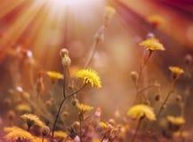 Maskrosen badas i solljus Arkivbild