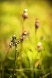 Maskrosen, bakgrund för grönt gräs och solen blossar Royaltyfria Foton