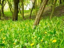 Maskrosen blommar skogen Fotografering för Bildbyråer