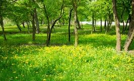 Maskrosen blommar skogen Arkivbilder