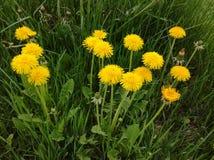 maskrosen blommar yellow Royaltyfri Bild