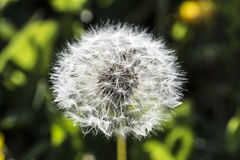 Maskrosen botanisk känd taraxacumofficinale, är ett perent ogräs Arkivfoto