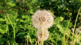 Maskrosen flyttar sig långsamt i vinden lager videofilmer