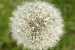 Maskrosen hoppa fallskärm bollen, frö, closeup Royaltyfri Fotografi