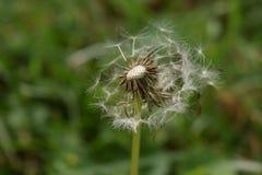 Maskrosen kärnar ur blom som framåt brister Fotografering för Bildbyråer