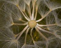 Maskrosen kärnar ur closeupen Royaltyfri Fotografi