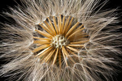 Maskrosen kärnar ur head detaljer Fotografering för Bildbyråer