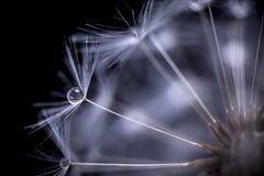 Maskrosen kärnar ur makro Royaltyfri Foto