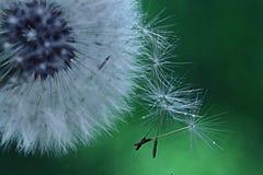 Maskrosen kärnar ur den vita blomman för makroen Arkivbild