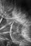 Maskrosen utplacerar Royaltyfria Foton