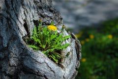 Maskrosen växer nolla det gamla trädet arkivfoton