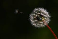 maskrosflyg fotografering för bildbyråer